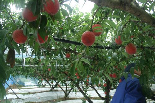まだ味わったことのない桃 自然力あふれる、九州の桃